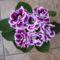 lila Gloxínia virágom Jutitól