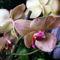 Phalaenopsis Orchidea