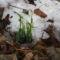Tavasz első virága a hóvirág
