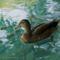 2560Kaczka - Duck2