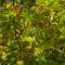 2560Kasztanowiec zwyczajny (Aesculus hippocastanum L.)3