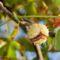 2560Kasztanowiec zwyczajny (Aesculus hippocastanum L.)