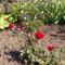 Kert - Törpe rózsa