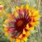 Kokárdavirág - Gaillardia fanfare