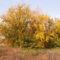 Vadnarancs - Maclura pomifera