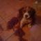 Bigi, a beagle kiskutya 1