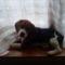 Bigi, a beagle kiskutya 2