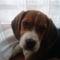 Bigi, a beagle kiskutya 3