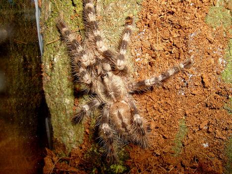 P. tigrinawesseli 0.0.1