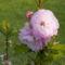 Babarózsa - Prunus triloba