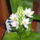 Fürtös madártej (Ornithogalum thyrsoides)