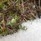 Kibujt az első hóvirágunk