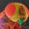 Mikroszkóp alatt - házilégy