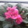 Niki virágai