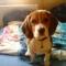 Bigi, a beagle kiskutya 6