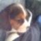Bigi, a beagle kiskutya 7