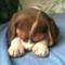 Bigi, a beagle kiskutya 8