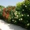 Darnói rózsák