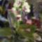Dendrobium Orchidea 1