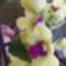 Dendrobium Orchidea 3