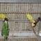 papagály pár