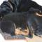 rottweiler 3