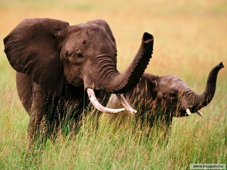 Elefánt-014