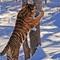 tigris-014