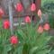 Tulipánok délután