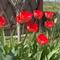 Tulipánok napsütésben