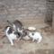 Cicáink: a tanyánál  laknak