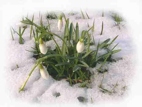 hóvirág nőnapra védett növény