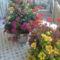Kalnancho vagy koralvirág,balkonom szépe