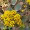 Mahónia-Mahonia aquifolium