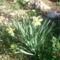 nárcisz , tavasz a kertben...