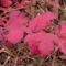 Labdarózsa levele ősszel