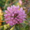 Vöröshere-Trifolium pratense
