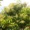 kertünkben- mangófa teljes pompájában