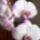 Sziszi orchideái