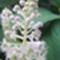 alkörmös virága