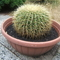 Anyósszék nevű kaktusz