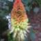 fáklyaliliom virágzata közelről