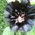 fekete mályva