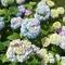 hortenzia savanyú talajban