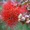 kefe virág még részben bimbós állapotban