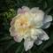 két színű pünkösdi rózsa