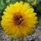 körömvirág