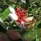 mirtuszvirág