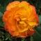 parázs színű rózsa 2