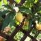 passiflora virág gyümölcsei